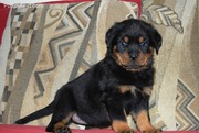Outgoing Rottweiler Puppies  available for new homes