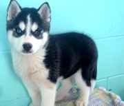 gorgeous male and female siberian husky puppies for sale