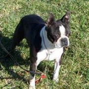 female boston terrier puppy for sale